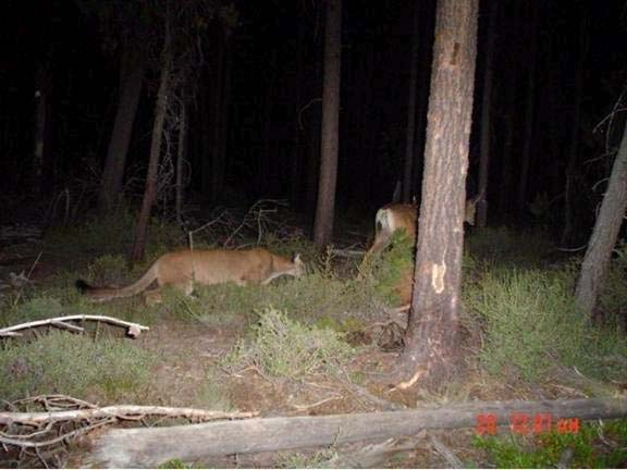 Trail Camera Picture of Mountain Lion Stalking a Whitetail
