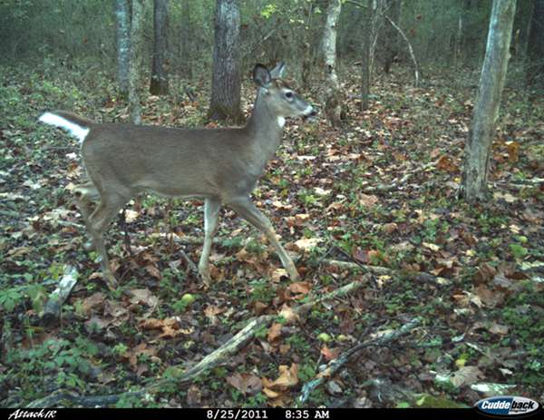 Cuddeback Attack Picture
